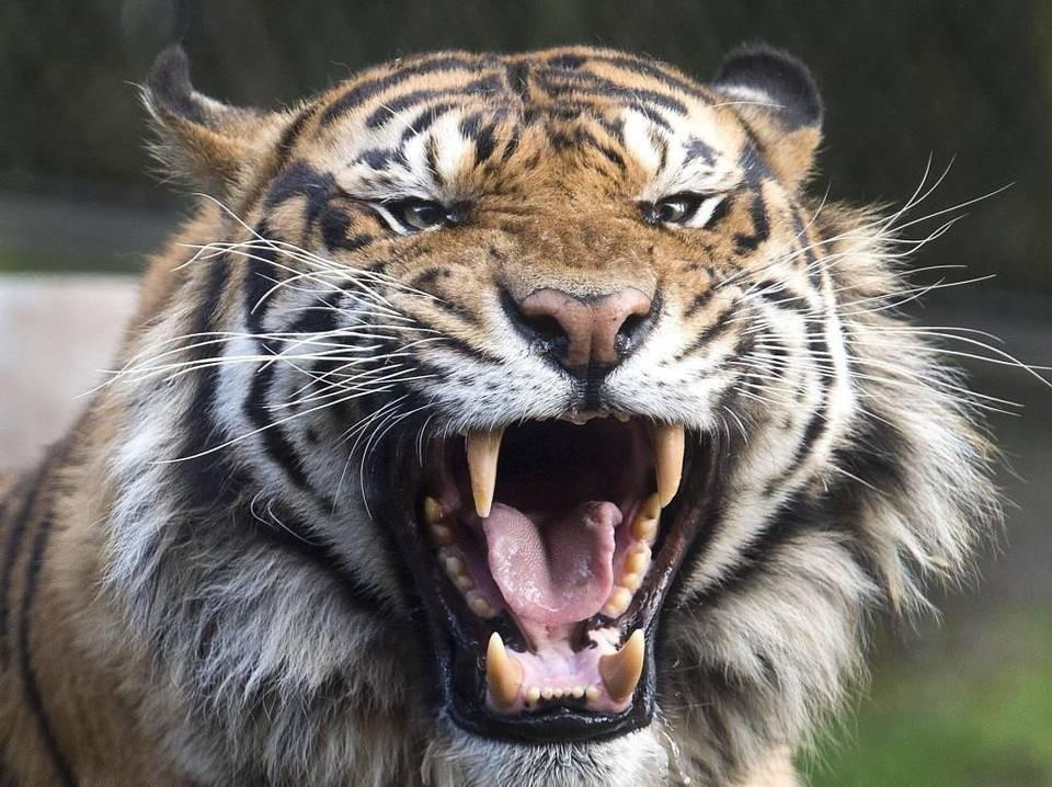 आएन बाघ नियन्त्रणमा