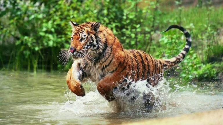 सन्दर्भ बाघ दिवस : बाघ संरक्षणमा उत्साहजनक उपलब्धि, मानव–बाघ द्वन्द्व भने भयावह