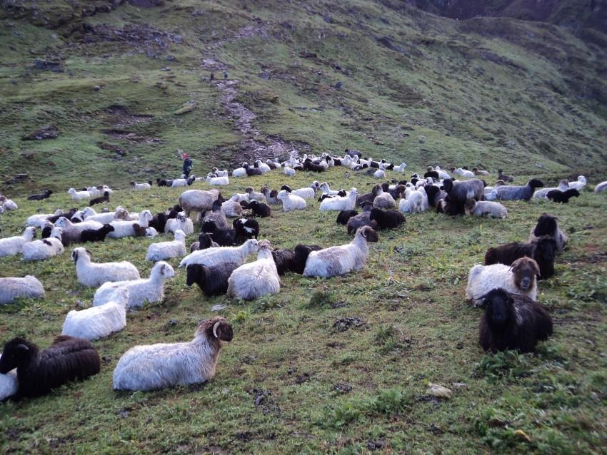 रोल्पाको लेकमा रमाउँदै भेडी गोठाला